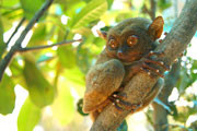 The world's smallest primate, the tarsier